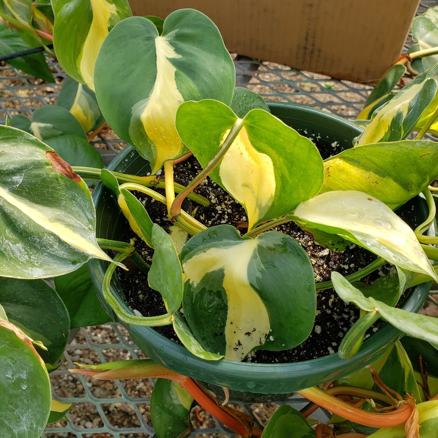 Philodendron, 'Cream Splash'