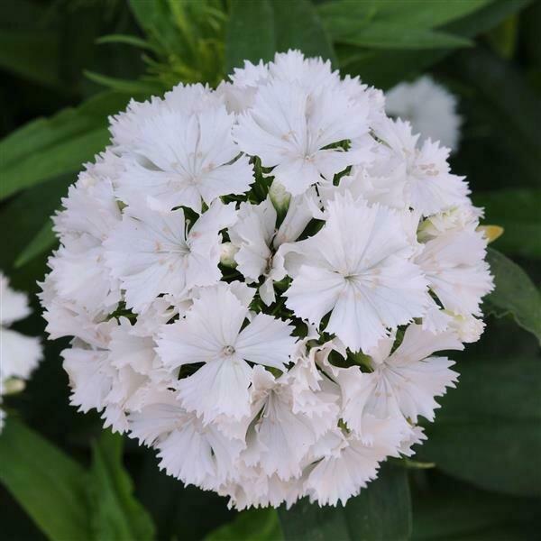 Pinks, Telstar™ White