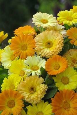 Pot Marigold, 'Dawn Mix'