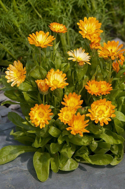 Pot Marigold, 'Oopsy Daisy'
