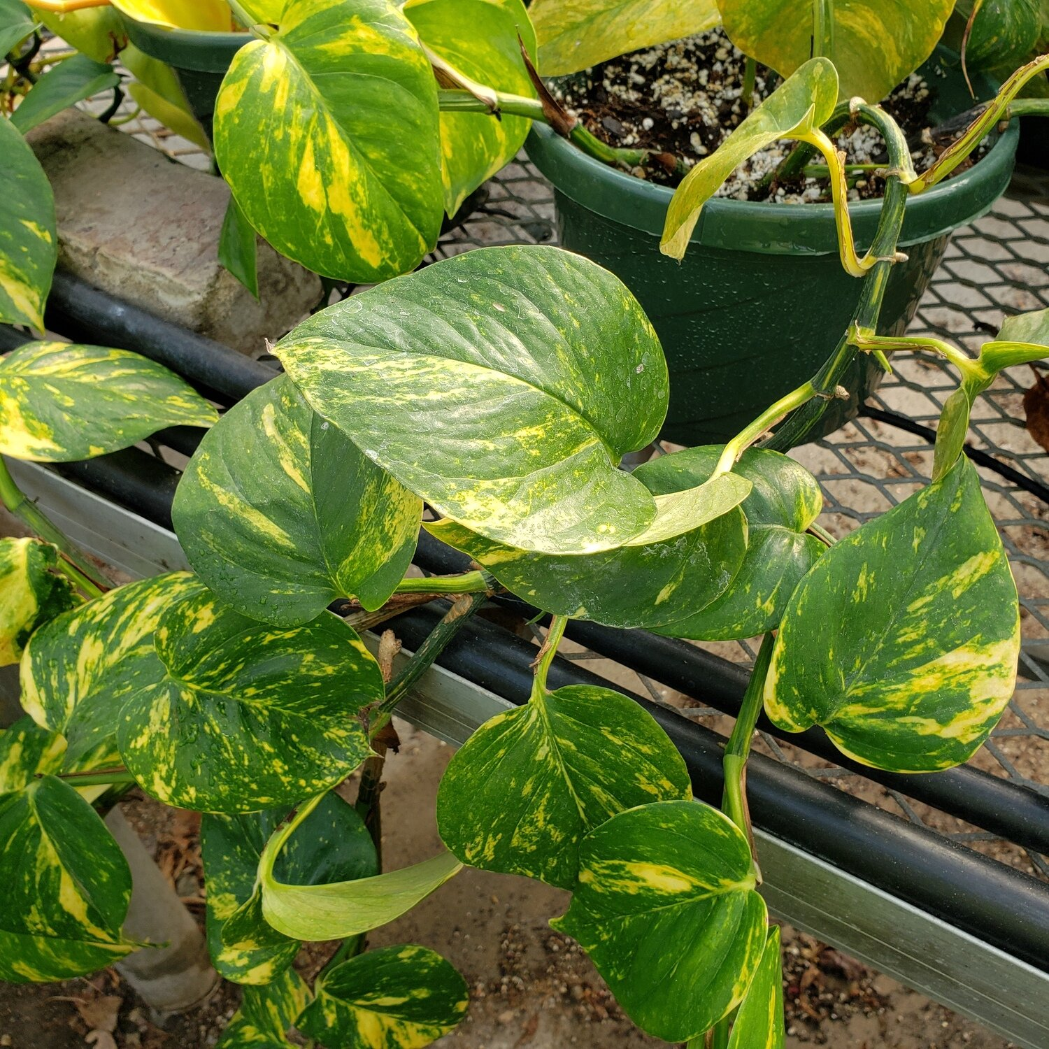 Pothos, Golden