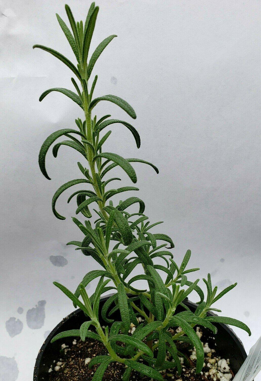 Rosemary, 'Arp'