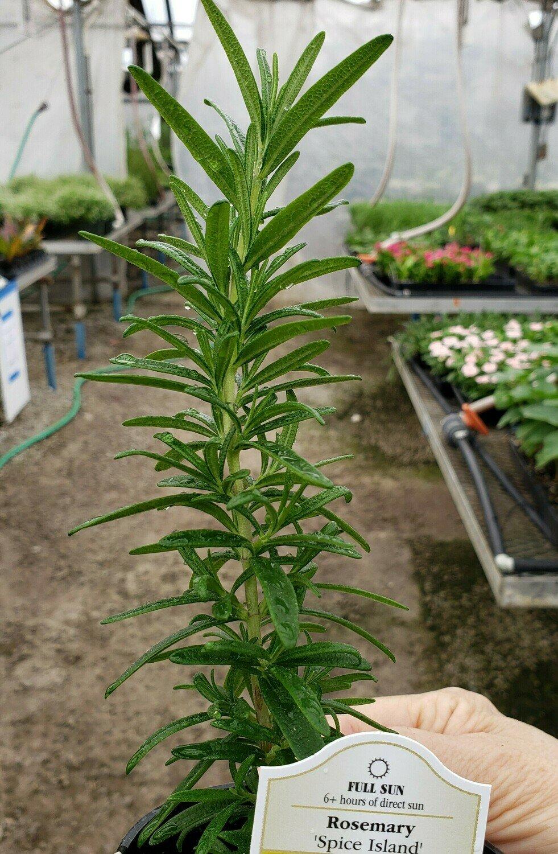 Rosemary, 'Spice Island'