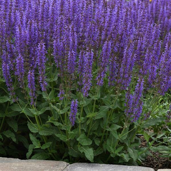 Sage, Meadow, 'Blue by You'