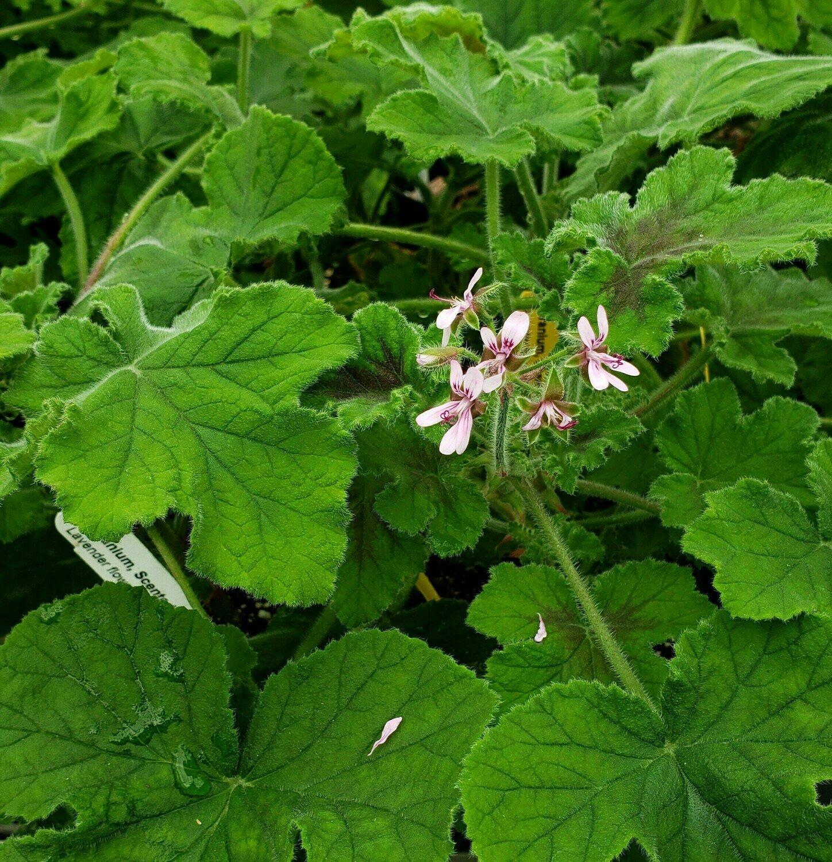 Scented Geranium, 'Chocolate Mint'