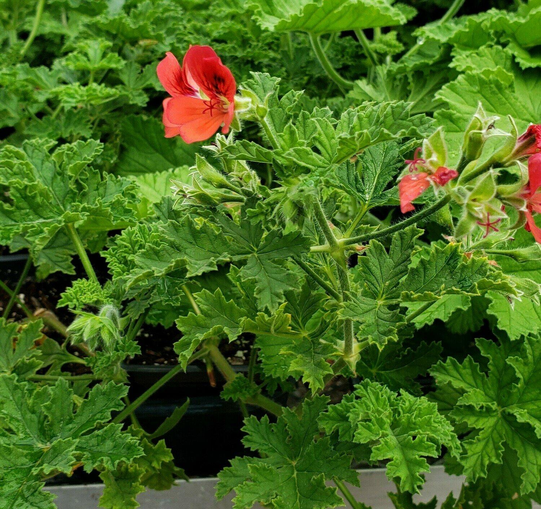 Scented Geranium, 'Red-Flowered Rose'