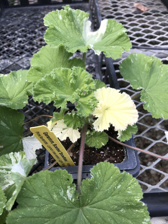Scented Geranium, 'Snowflake'