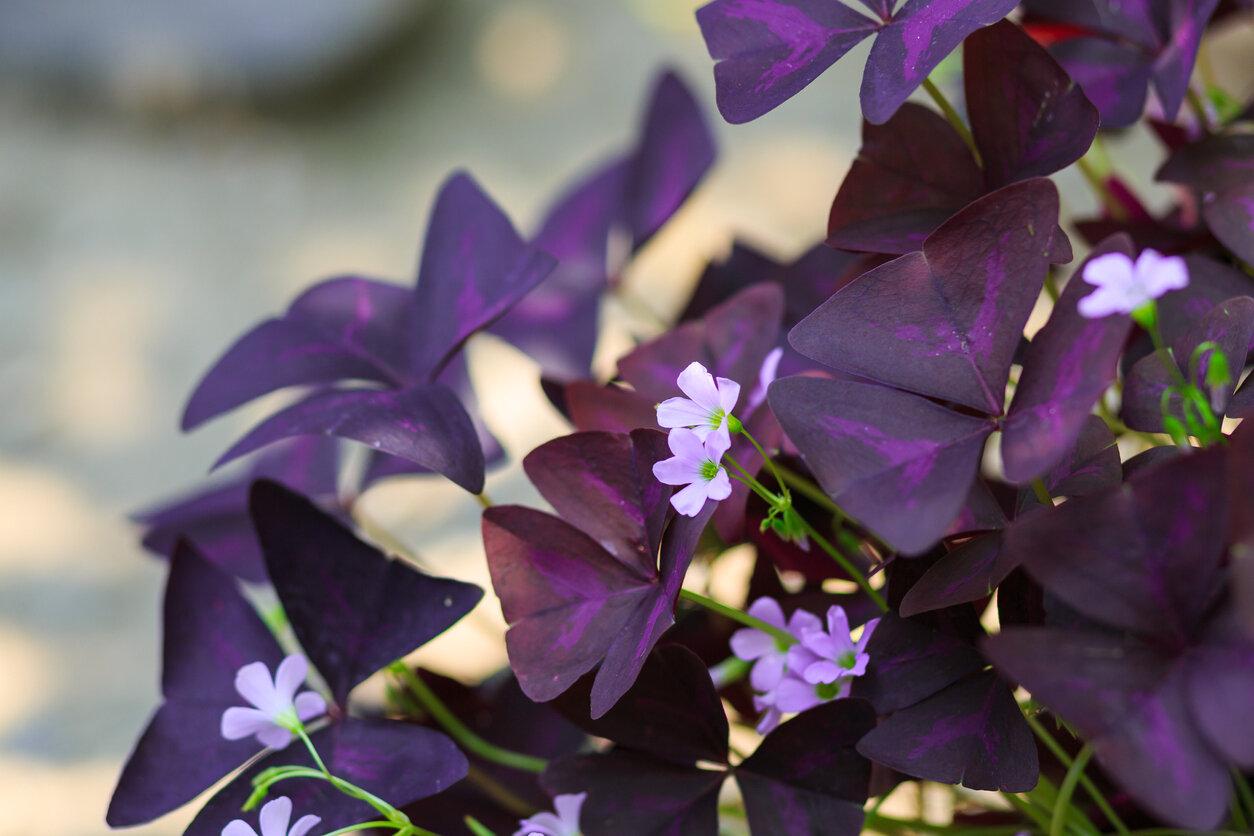 Shamrock, Purple