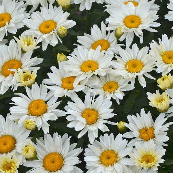 Shasta Daisy, 'Cream Puff'