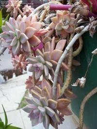 Succulent, Graptoveria 'Fred Ives'