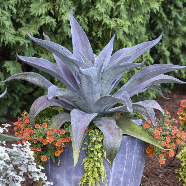 Succulent, Mangave, 'Aztec King'