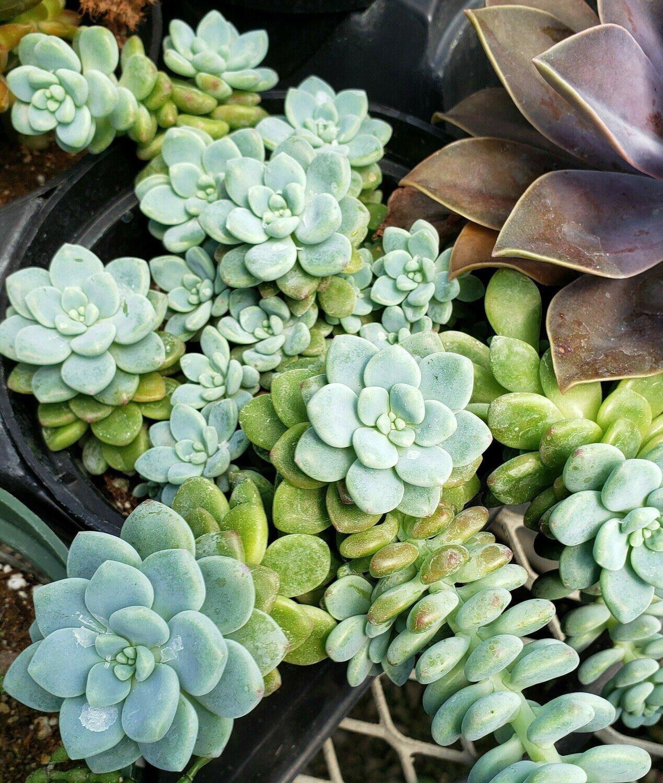 Succulent, Sedum, Tiscalatengo Gorge