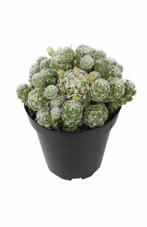 Succulent, Thimble Cactus