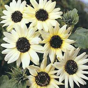 Sunflower, 'Italian White'
