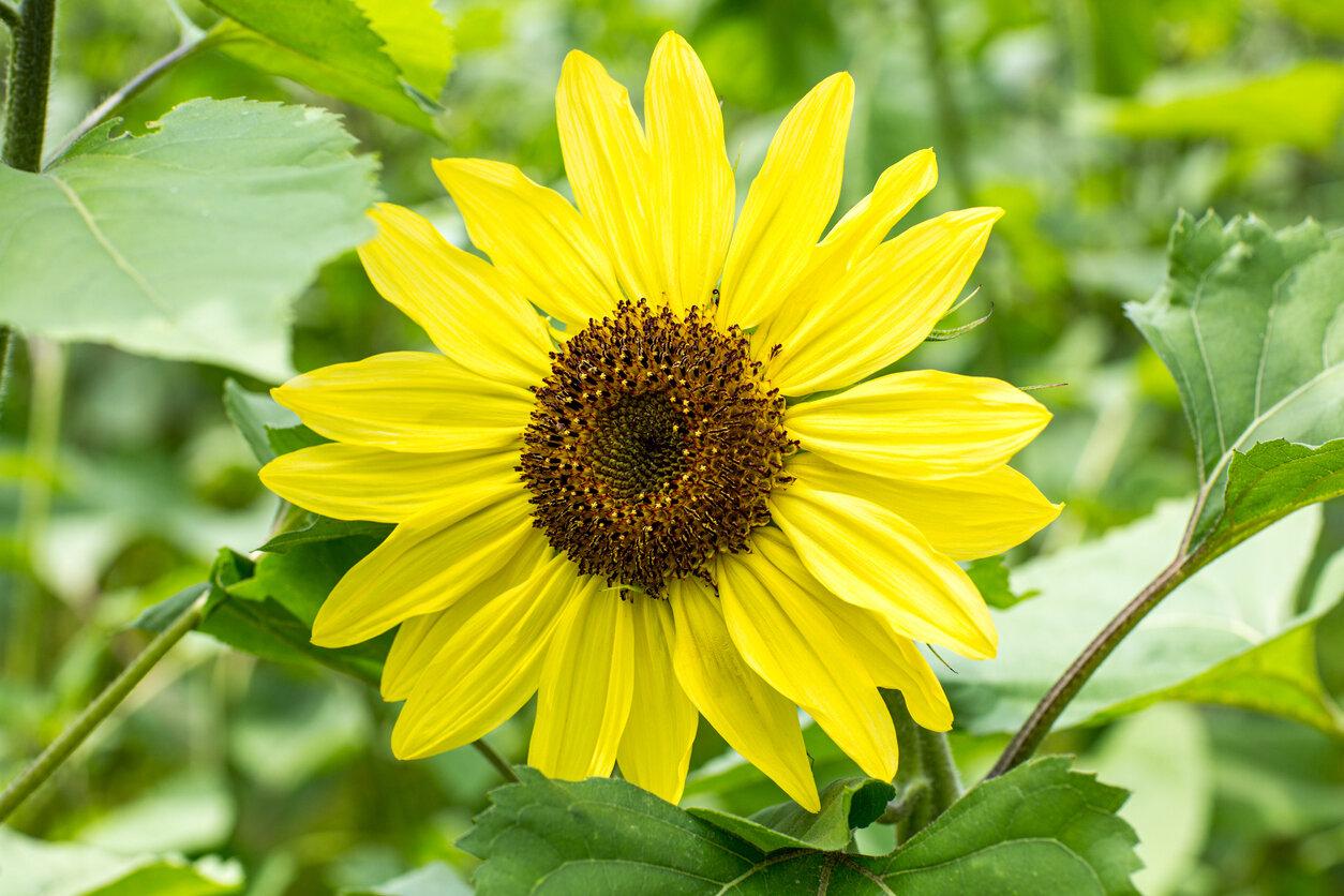 Sunflower, 'Suntastic Yellow with Black Center'