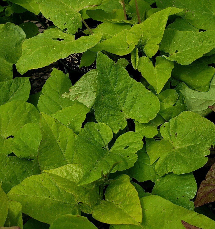 Sweet Potato Vine, Green Heart