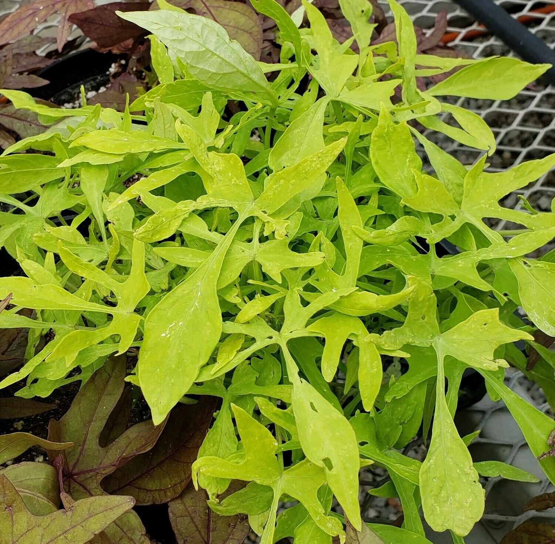 Sweet Potato Vine, Lacy Lime