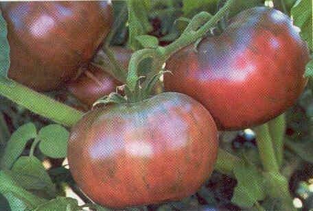 Tomato, Beefsteak, Cherokee Purple (indeterm)