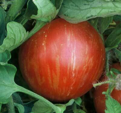 Tomato, Beefsteak, Mr. Stripey (indeterm)
