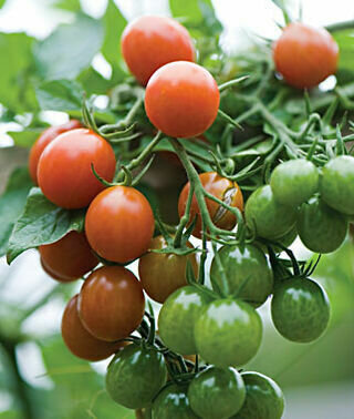 Tomato, Cherry/Grape, Napa Grape (indeterm)