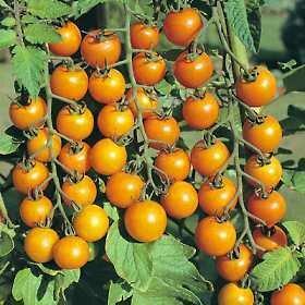 Tomato, Cherry/Grape, Sun Gold F-1 (indeterm)