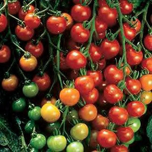 Tomato, Cherry/Grape, Super Sweet 100 F-1 (indeterm)
