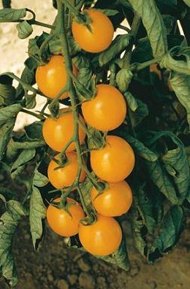 Tomato, Cherry/Grape, Sweet Million Gold (indeterm)