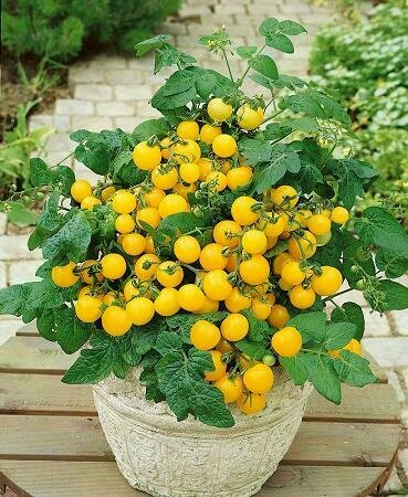 Tomato, Cherry/Grape, Windowbox Yellow (determinate)
