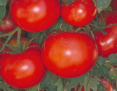 Tomato, Slicer, Celebrity (semi-determ)