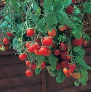Tomato, 'Tumbling Tom Red '