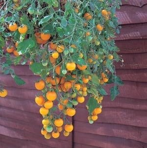 Tomato, 'Tumbling Tom Yellow '