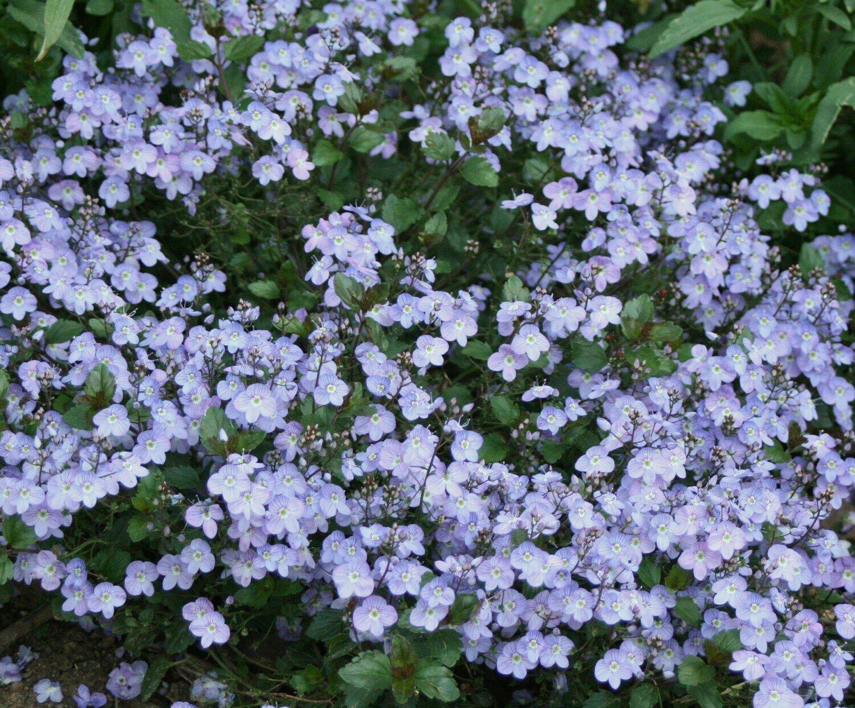 Veronica, Waterperry Blue