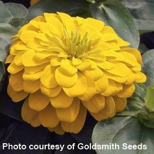Zinnia, 'Magellan Yellow'