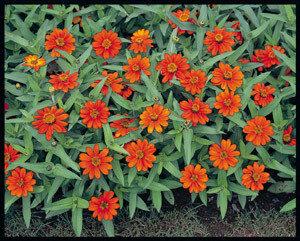 Zinnia, 'Profusion Orange'