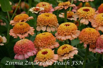 Zinnia, 'Zinderella Peach'