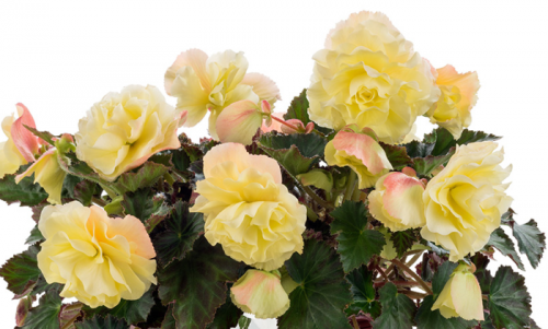 Begonia, Tuberous, Fragrant Falls® Lemon