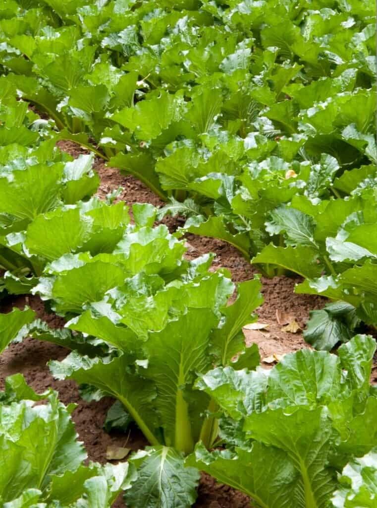 Cabbage, Napa, 'Jade Pagoda'