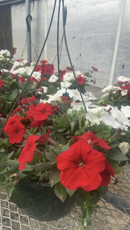 Sun/Petunia, Wave® Carmine Velour & Easy Wave® White