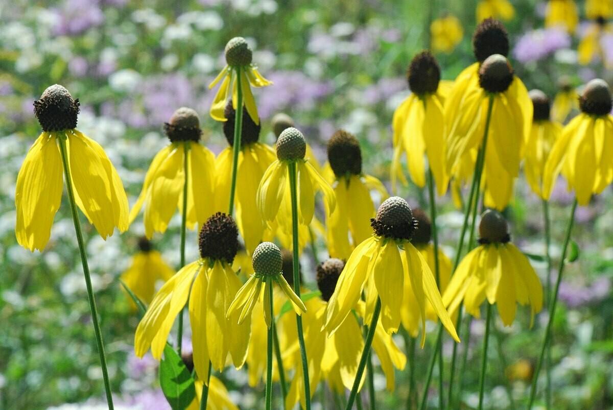 Coneflower, Yellow