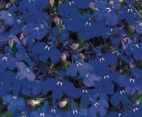 Lobelia, 'Regatta Marine Blue'