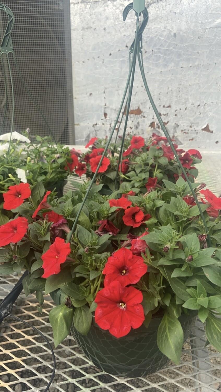 Sun/Petunia, Wave® Carmine Velour