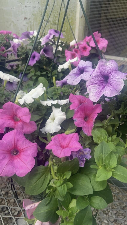 Sun/Petunia, Easy Wave® White, EW® Plum Vein & EW® Pink Passion