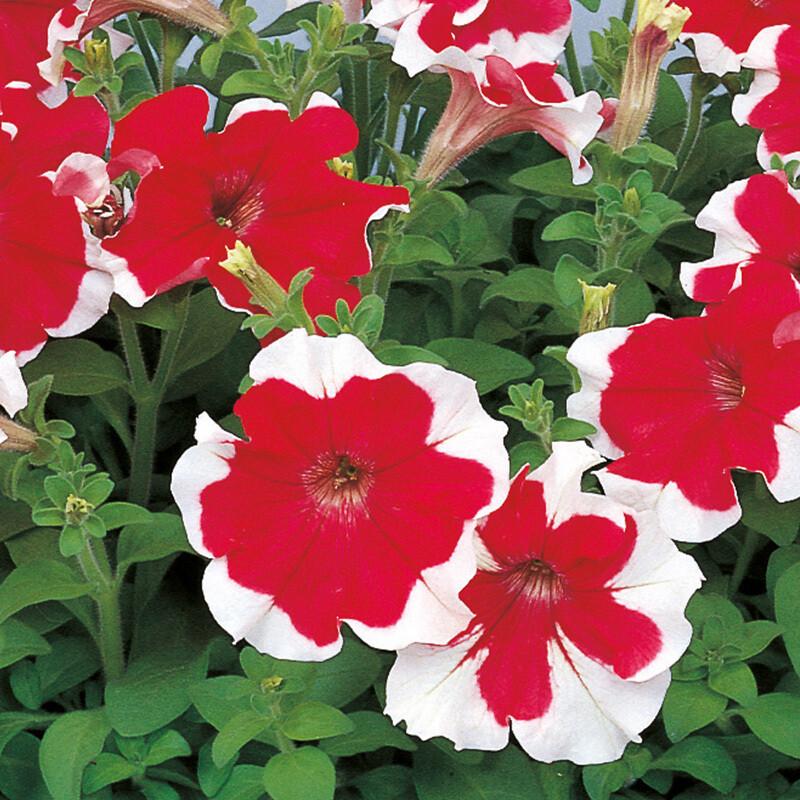 Petunia, Multiflora, 'Hulahoop Red'