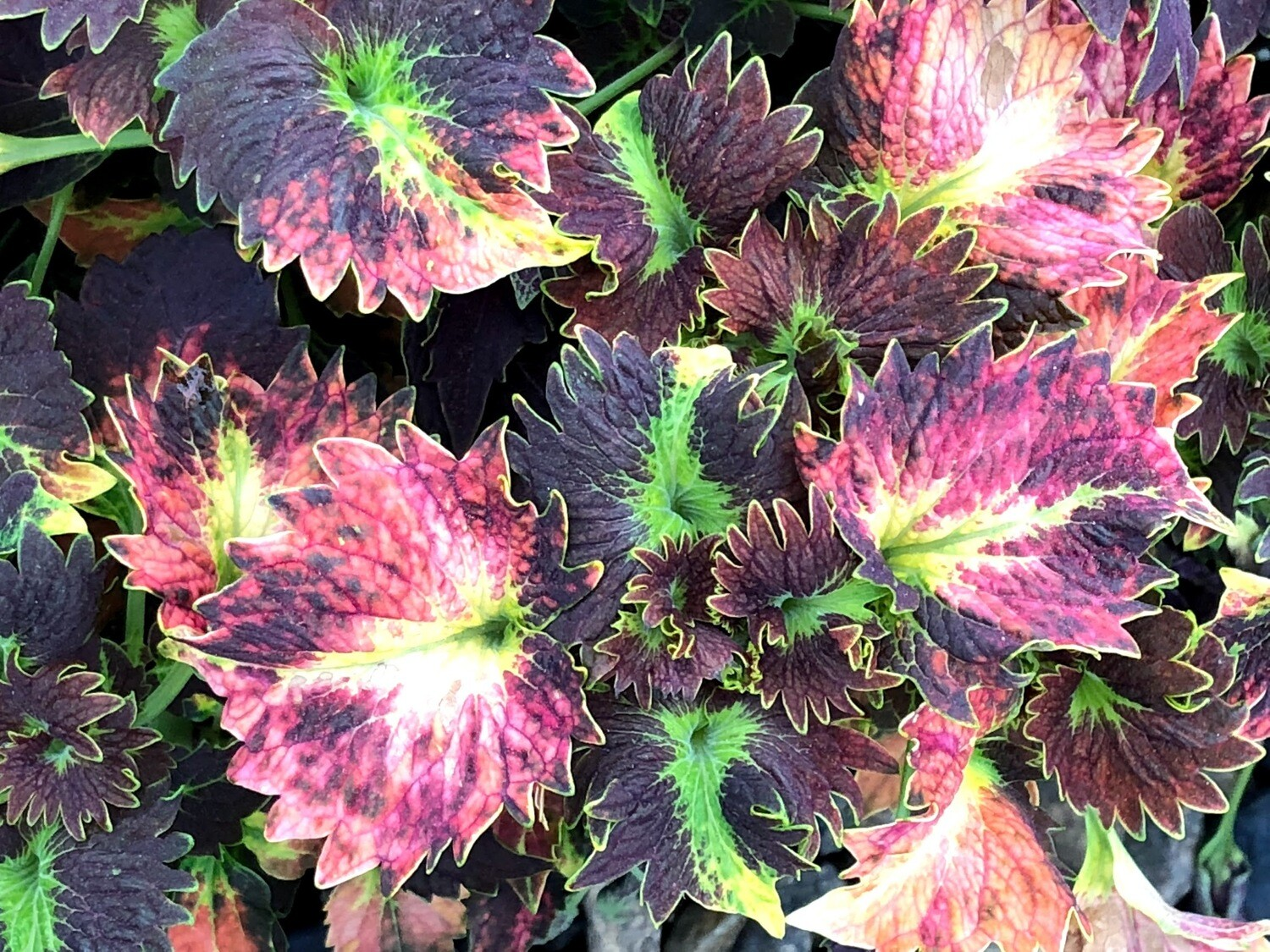 Coleus, Stained Glassworks™ Tilt a Whirl