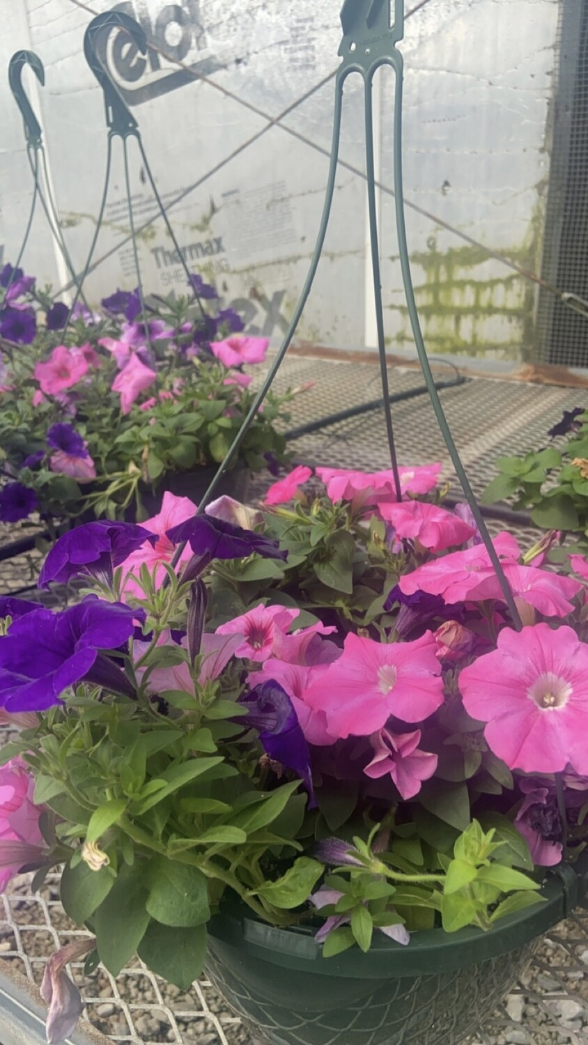 Sun/Petunia, Easy Wave® Blue & EW® Pink Passion