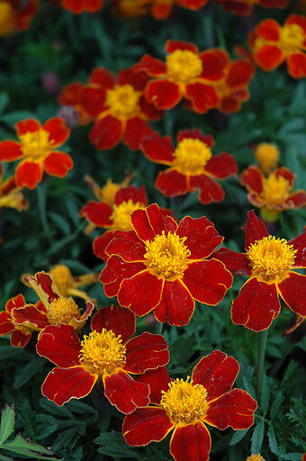 Marigold, French, 'Disco Red'