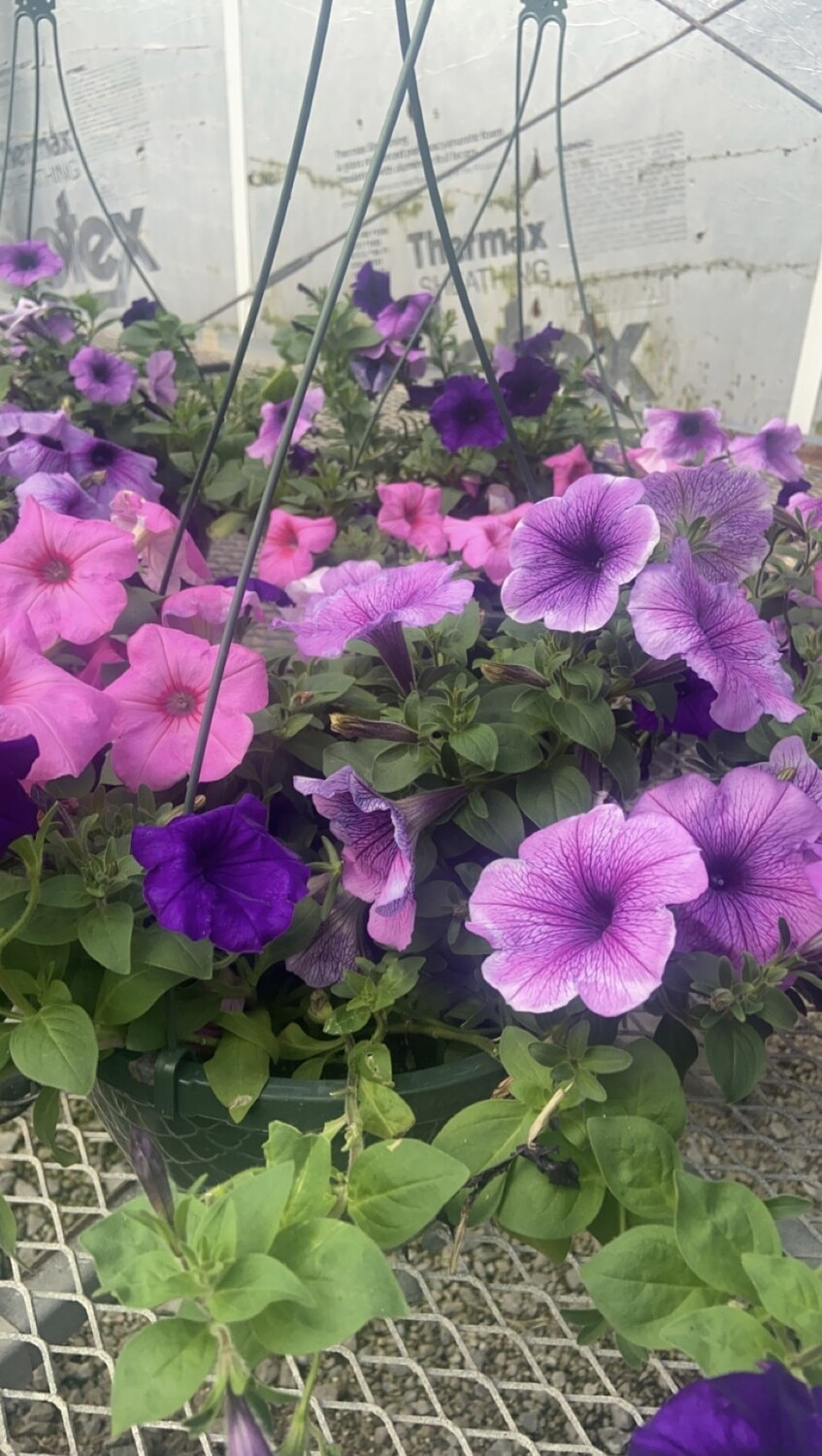 Sun/Petunia, Easy Wave® Blue, EW® Pink Passion & EW® Plum Vein