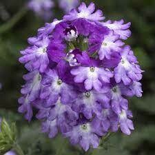 Verbena, Tuscany® Twister™ Purple Shades