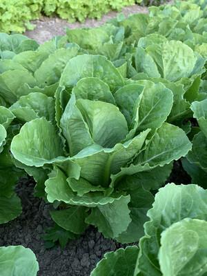 Romaine Lettuce Head