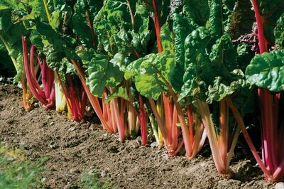Swiss Chard, 4 pack